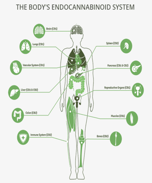 The Body's Endocannabinoid System